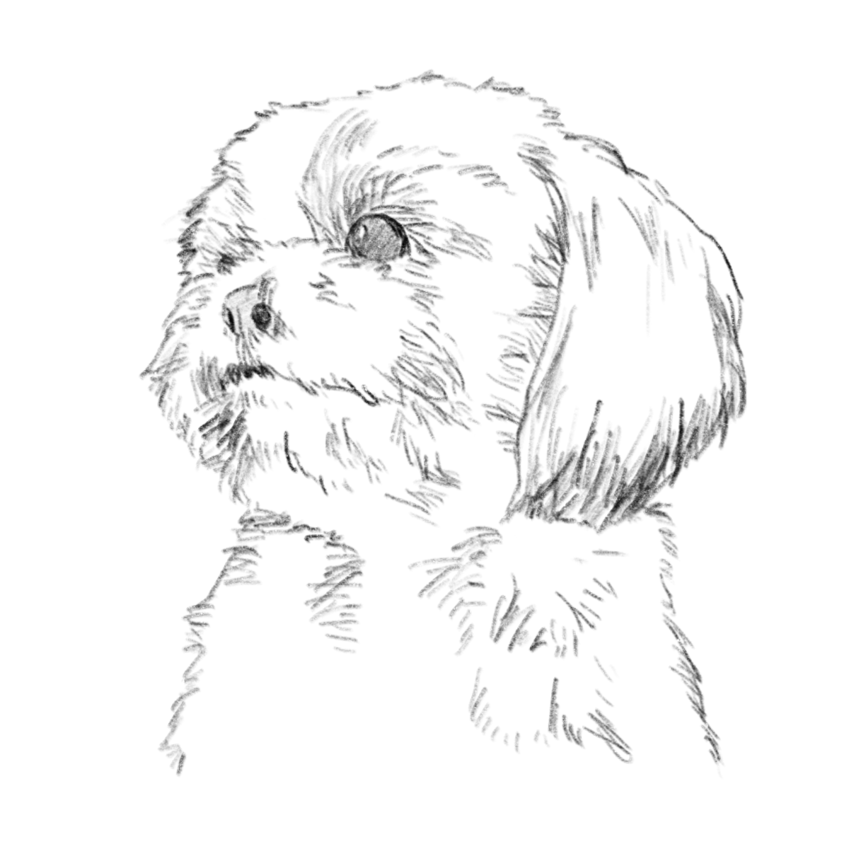 dog(shih tzu) pencil drawing 01
