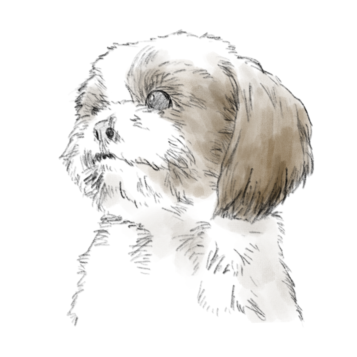 dog(shih tzu) pencil drawing 02